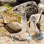South America Ecuador Galapagos Islands beautiful wild life Darwin Blue footed boobies eco friendly travel -luxury vacation destinations