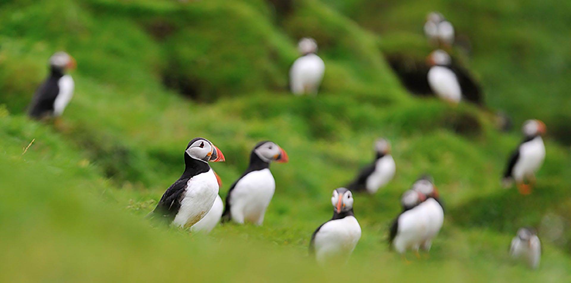 Atlantic Puffins on a Hill, Iceland