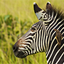 Africa beautiful wild zebra black and white stripes yellow billed oxpecker lush green grass - luxury vacation destinations