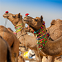 Decorated camels in India