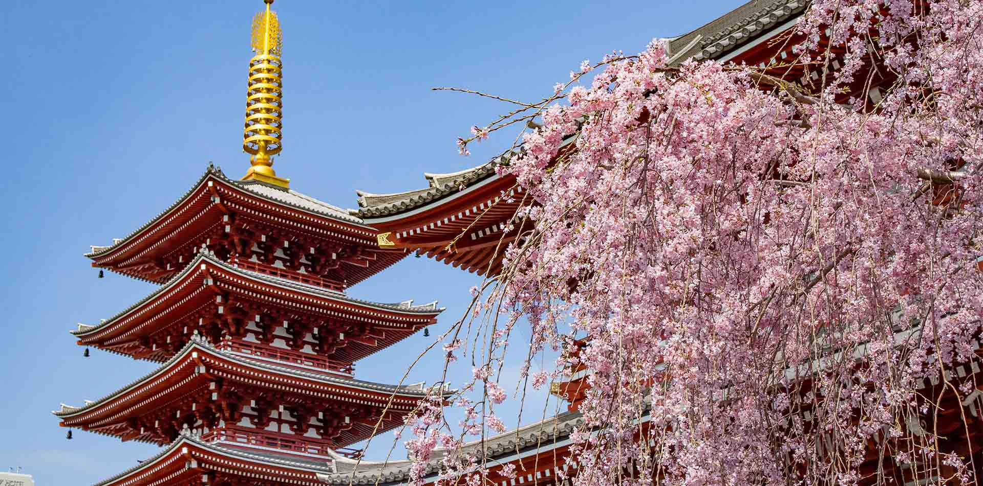 Asia Japan Tokyo Asakusa Senso-ji Buddhist temple with cherry blossom flowers - luxury vacation destinations