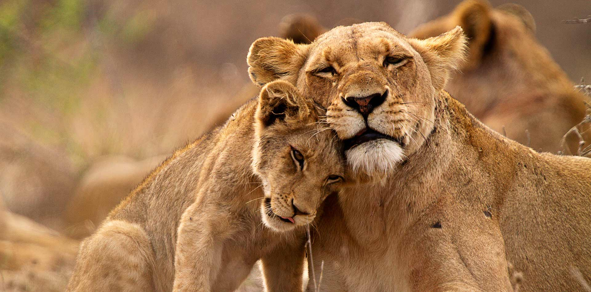 Lioness and Cub, South Africa