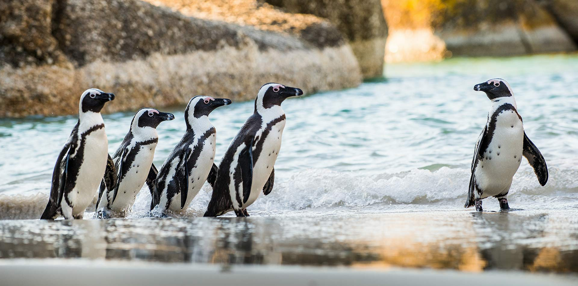 South Africa african penguins on sandy beach