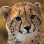 South Africa Phinda Game Reserve wildlife safari young spotted cheetah cub - luxury vacation destinations