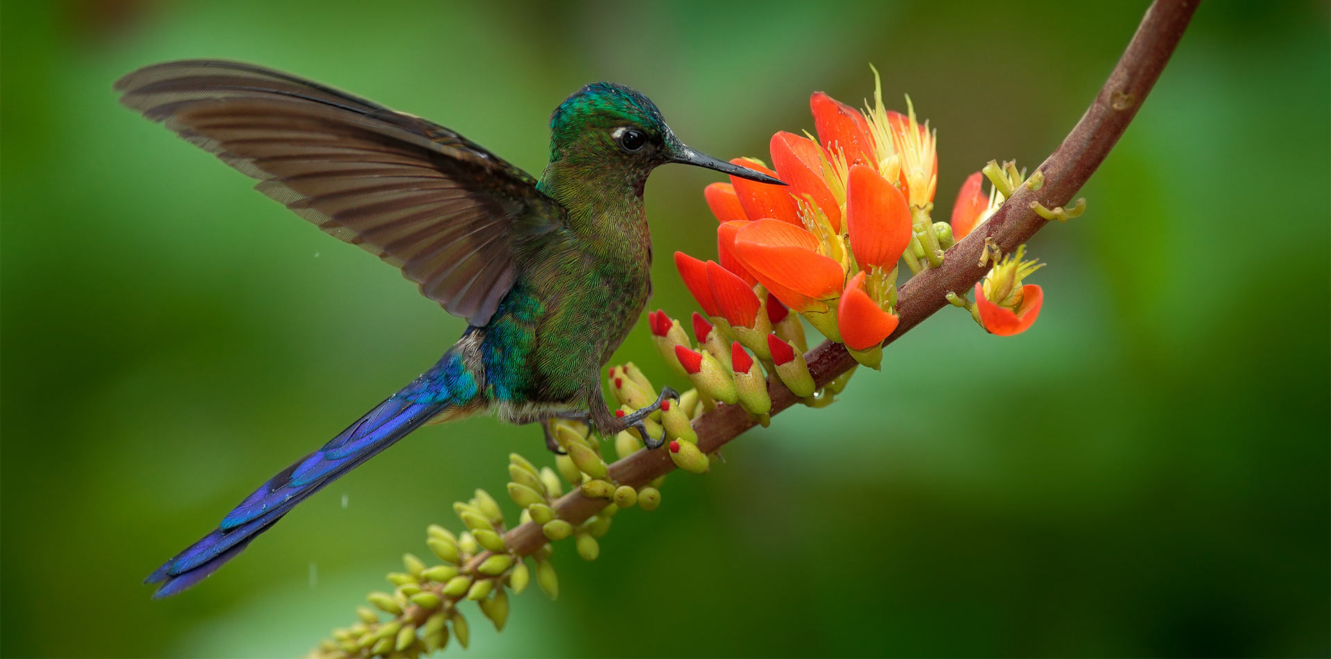 South America Colombia wild hummingbird gathering nectar from flower - luxury vacation destinations