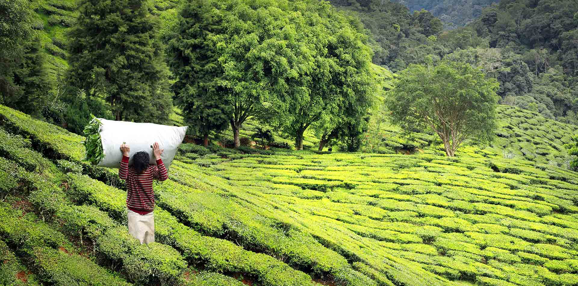 Asia India Darjeeling local farmer carrying bag of harvested green tea leaves - luxury vacation destinations