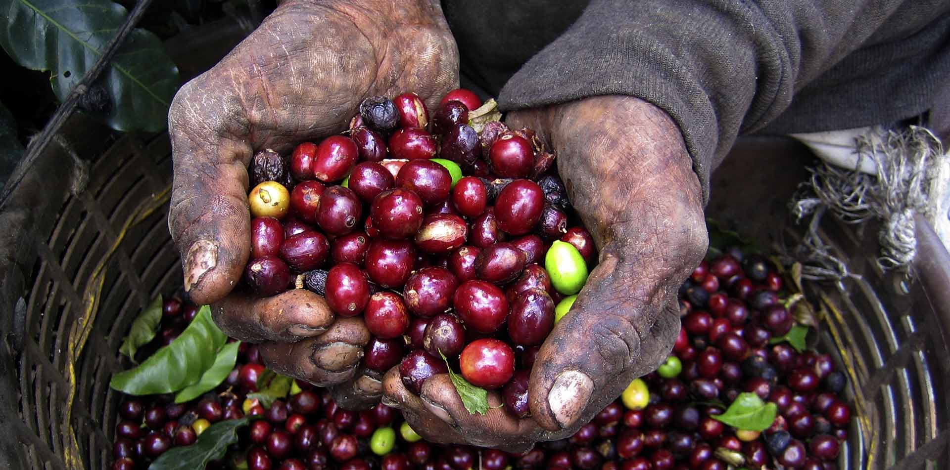 Man holding Costa Rican coffee beans
