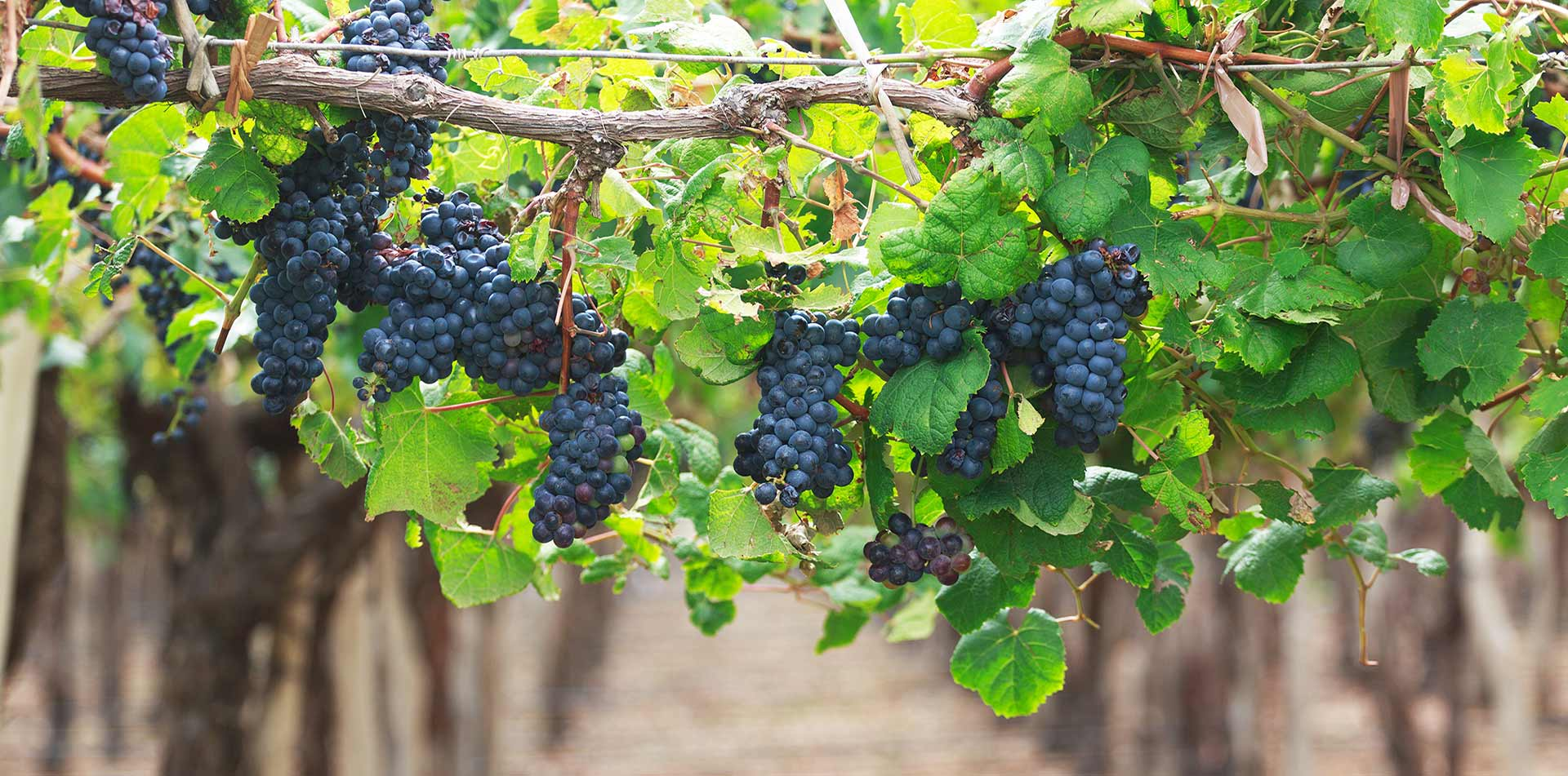 Europe Croatia Vineyard ripe purple grapes hanging from branch green leaves wine tasting - luxury vacation destinations