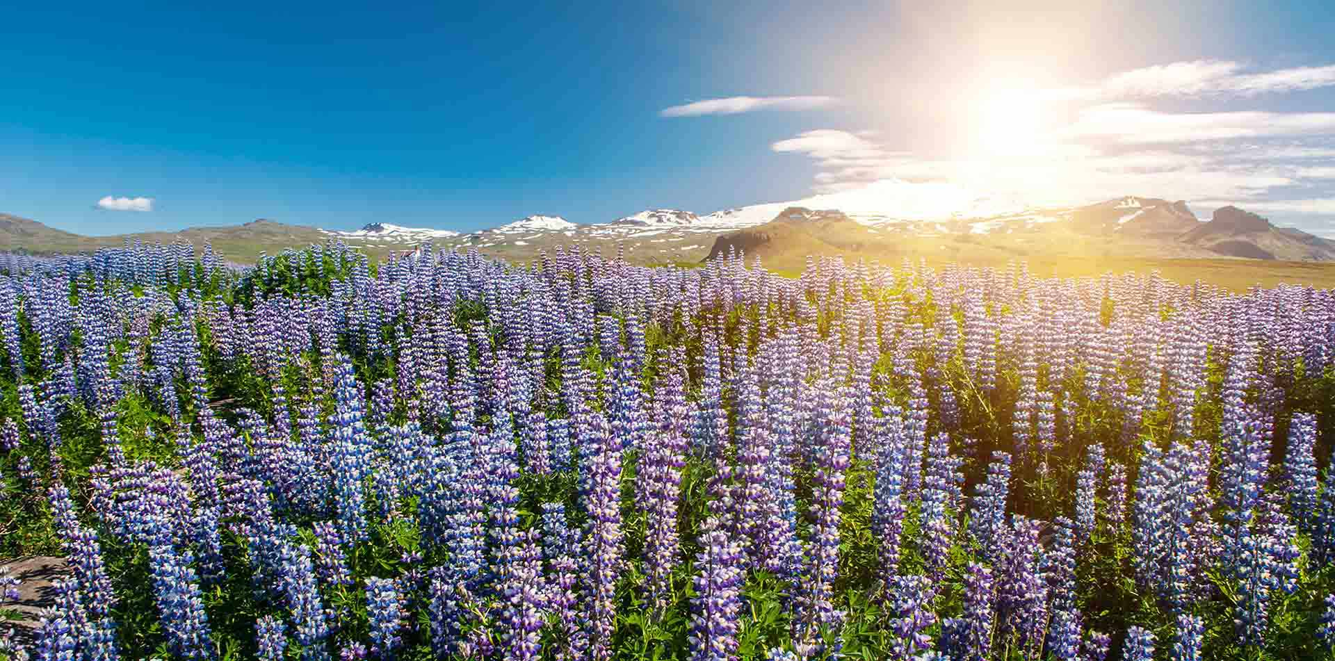 Flowers in Lupin Snaefellsnes, Iceland