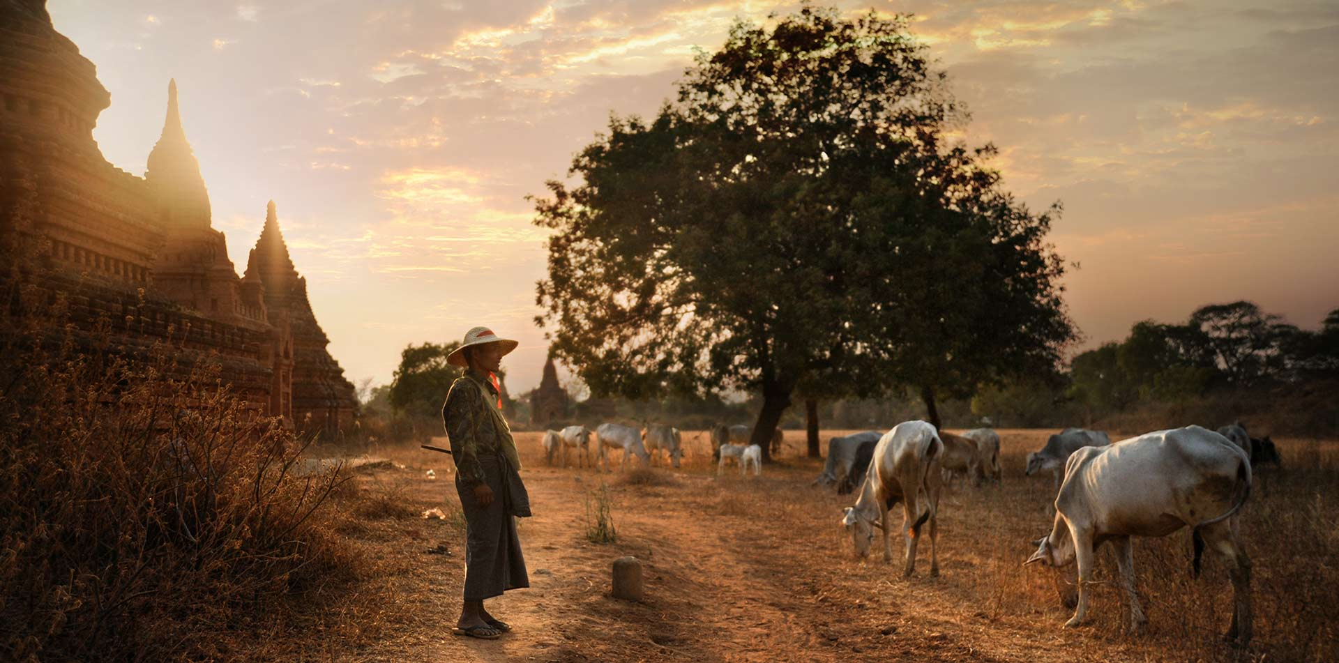 Asia Myanmar Bagan local cattle herder at sunset ancient temples countryside livestock   - luxury vacation destinations