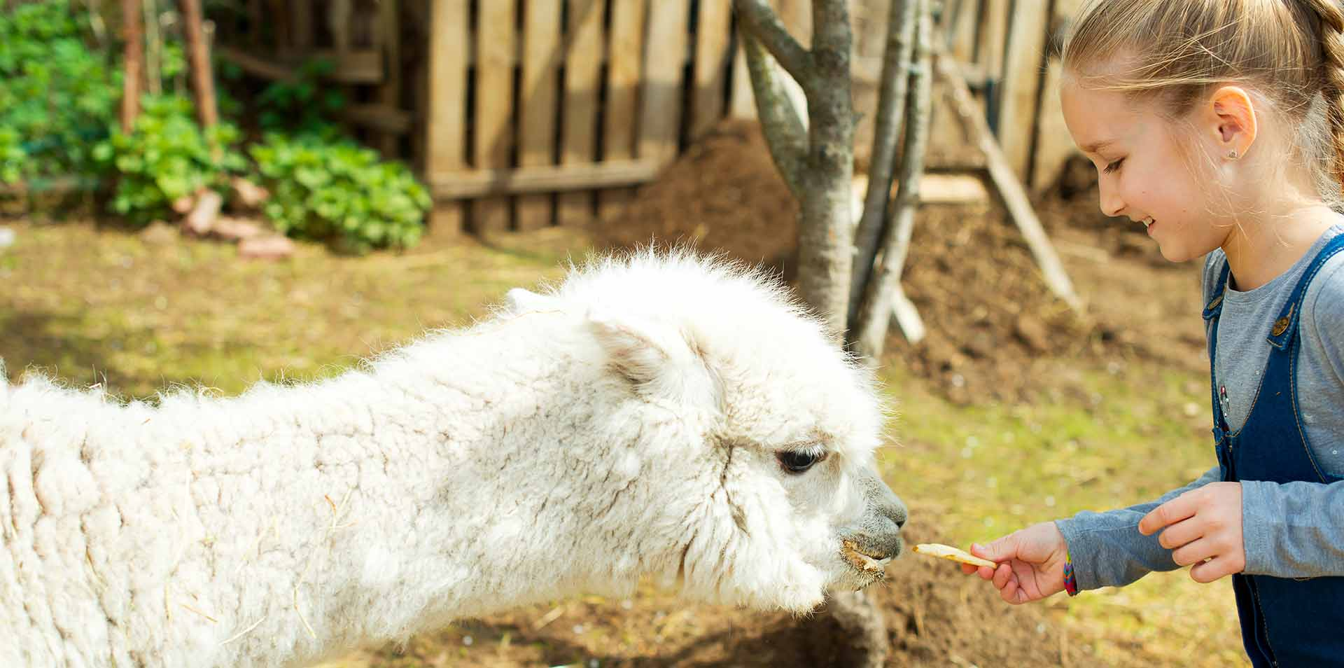 South America Peru happy young girl smiling feeding furry white alpaca - luxury vacation destinations