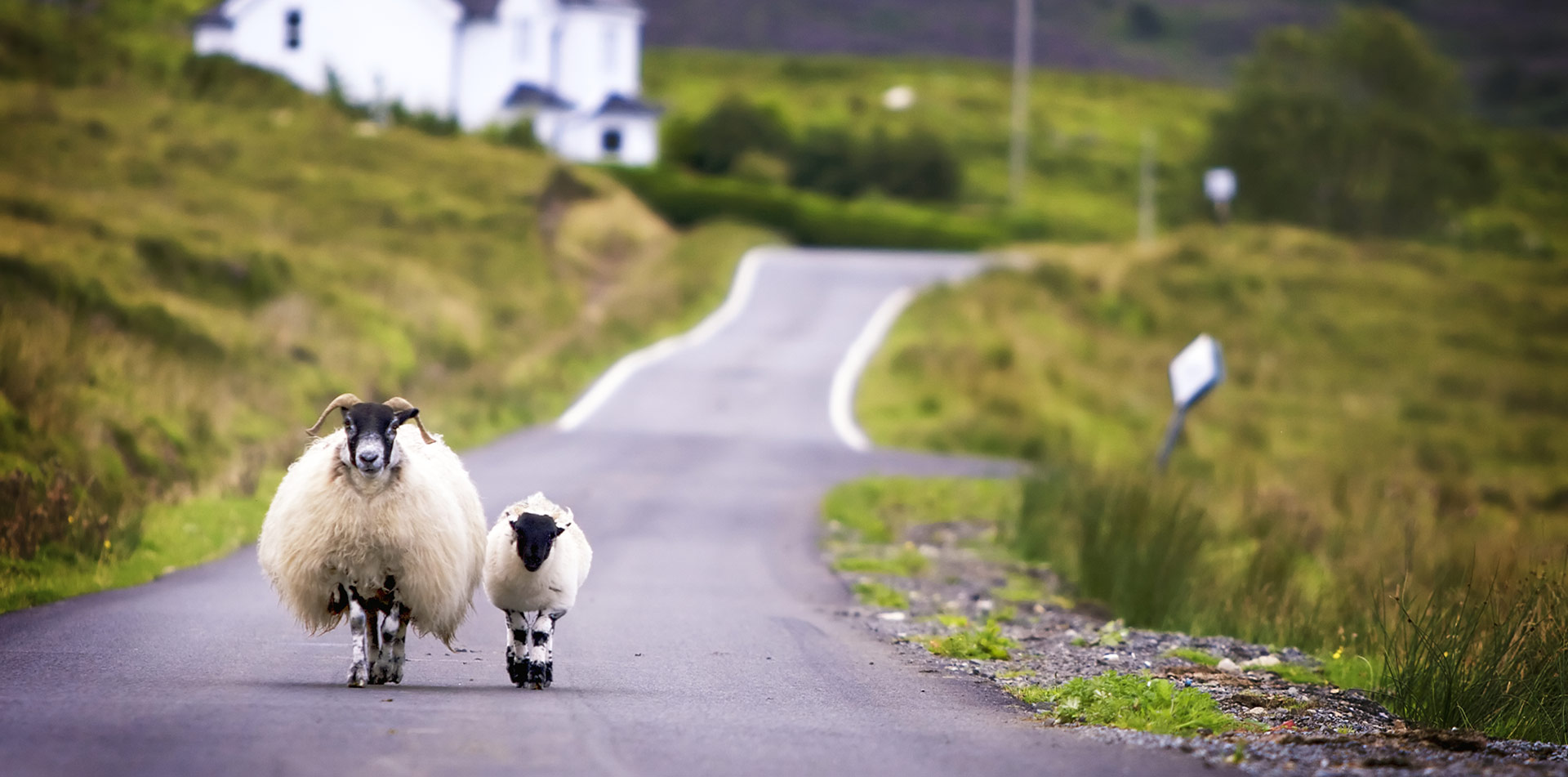 Europe United Kingdom Scotland two sheep walking on rural road in remote scenic countryside - luxury vacation destinations