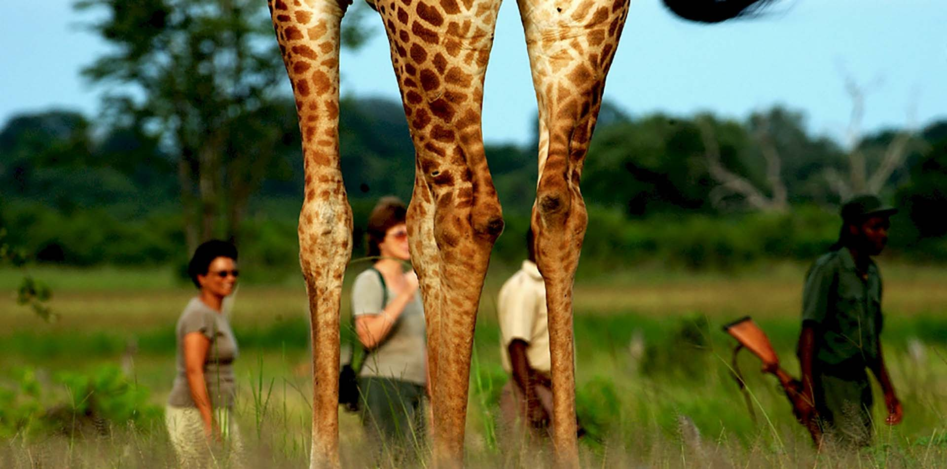 Africa Zambia tall giraffe legs wildlife safari nature group walking in remote lush jungle - luxury vacation destinations