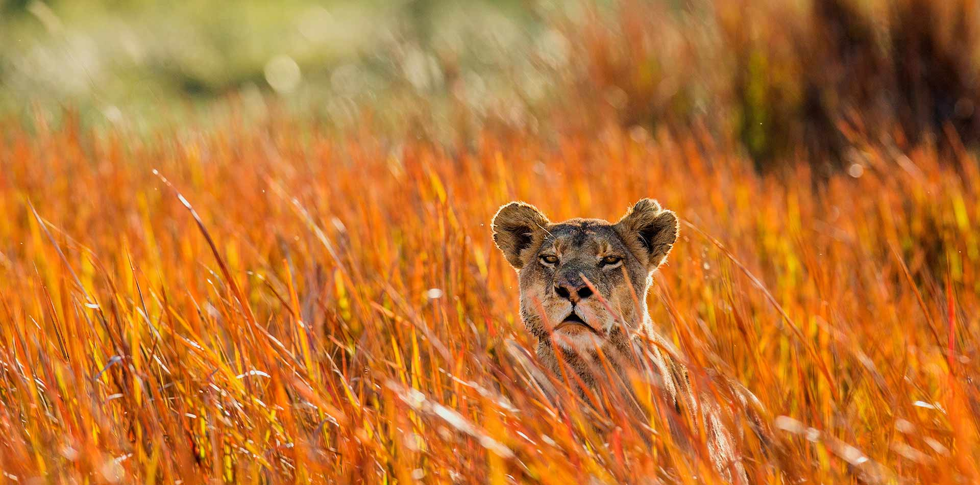 Africa beautiful wild lion hiding in tall dry grassy field safari nature - luxury vacation destinations