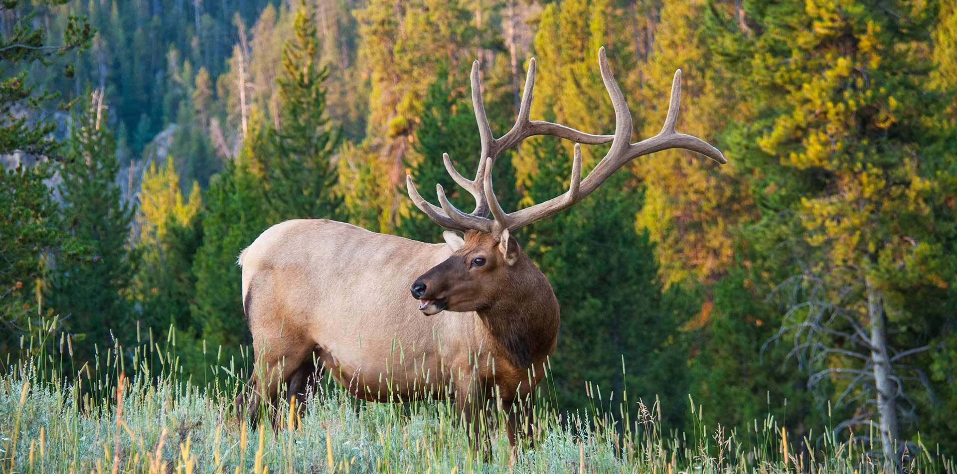 North America United States USA Montana elk wildlife nature field trees outdoors - luxury vacation destinations