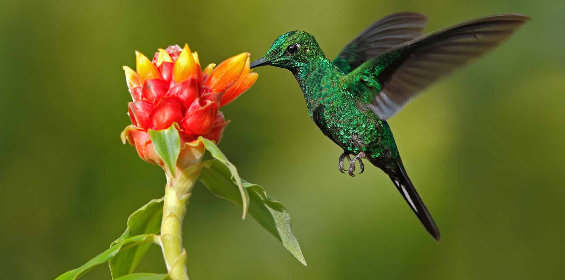 beautiful green hummingbird flapping wings and feeding on nectar from bright exotic flower - luxury vacation destinations