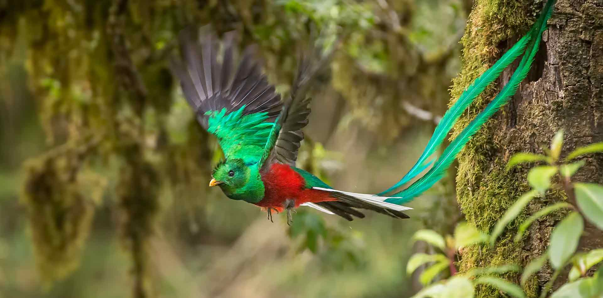 Central America Panama quetzal bird of paradise taking flight - luxury vacation destinations