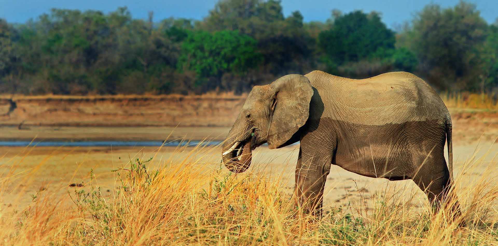 Africa Zambia Luangwa National Park safari wild elephant eating remote dry landscape - luxury vacation destinations