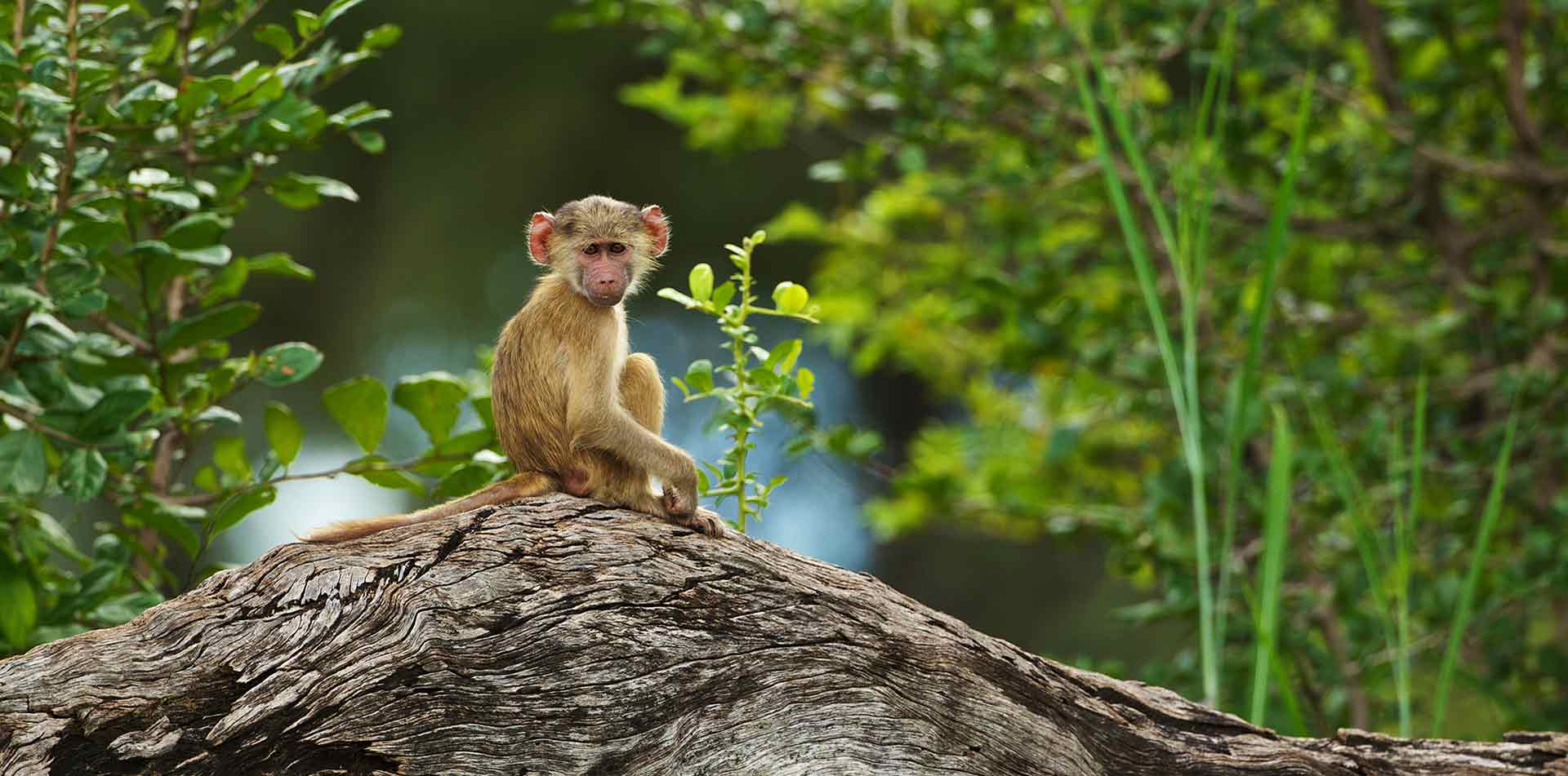 Africa Zambia young baboon sitting on tree trunk wildlife safari nature - luxury vacation destinations