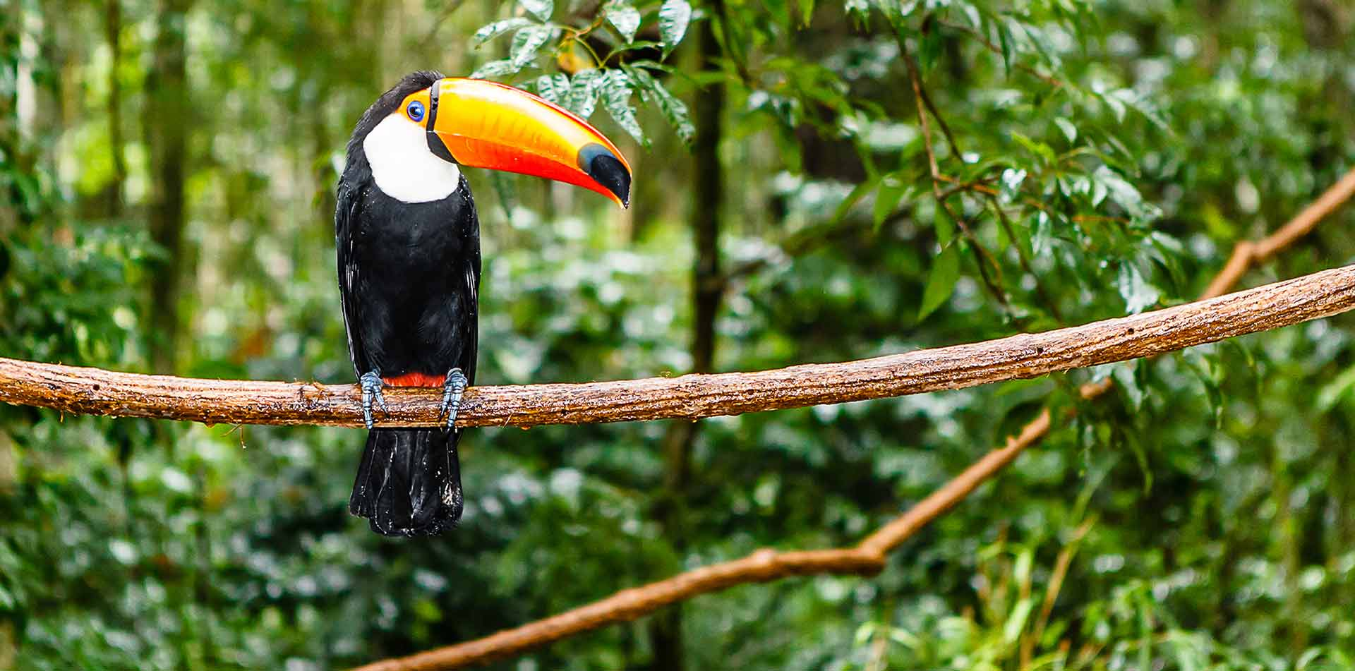 South America Peru toucan on a branch in the Peruvian Amazon rainforest - luxury vacation destinations