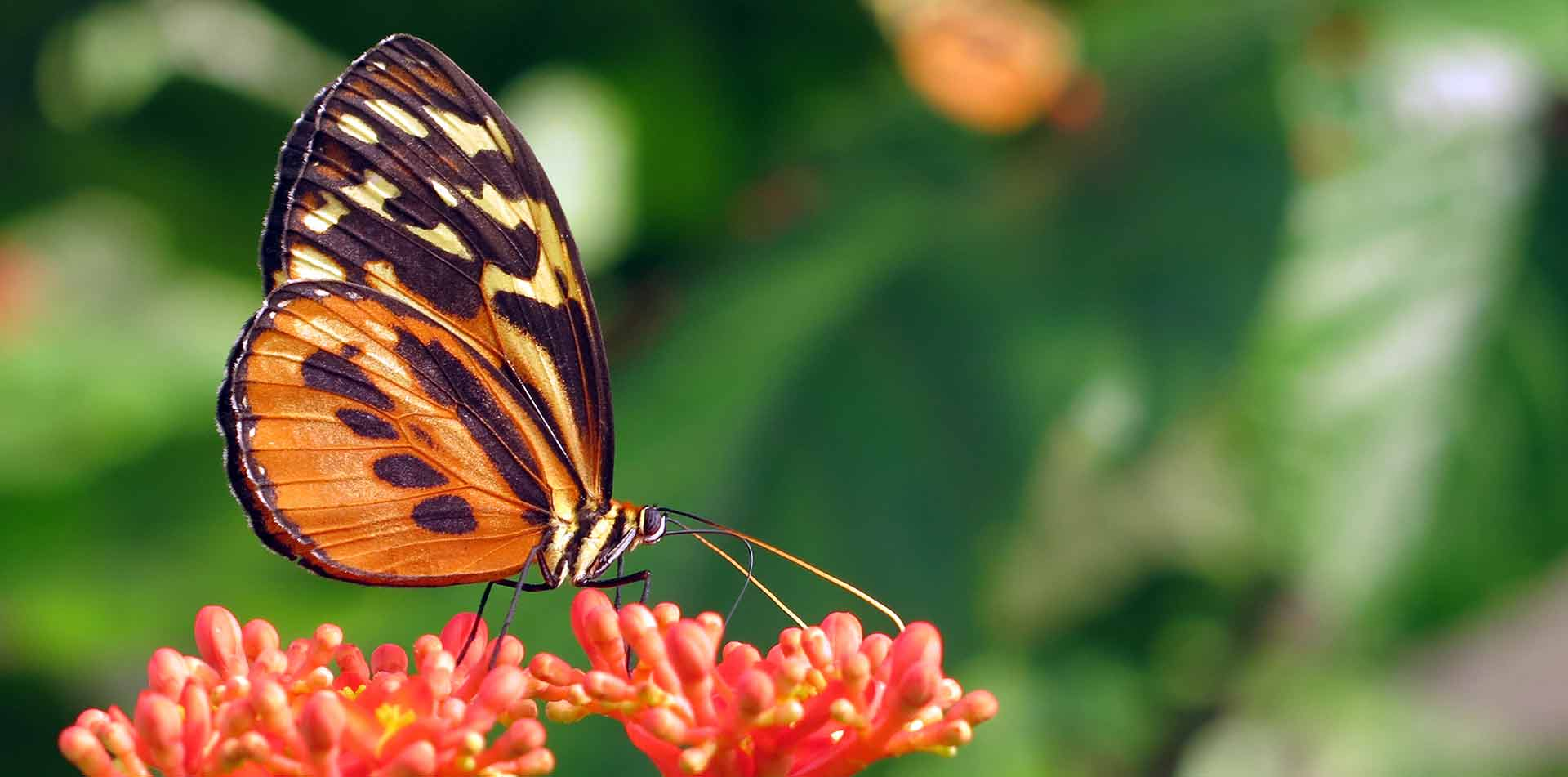 South America Peru butterfly on a flower in Peruvian Amazon rainforest - luxury vacation destinations