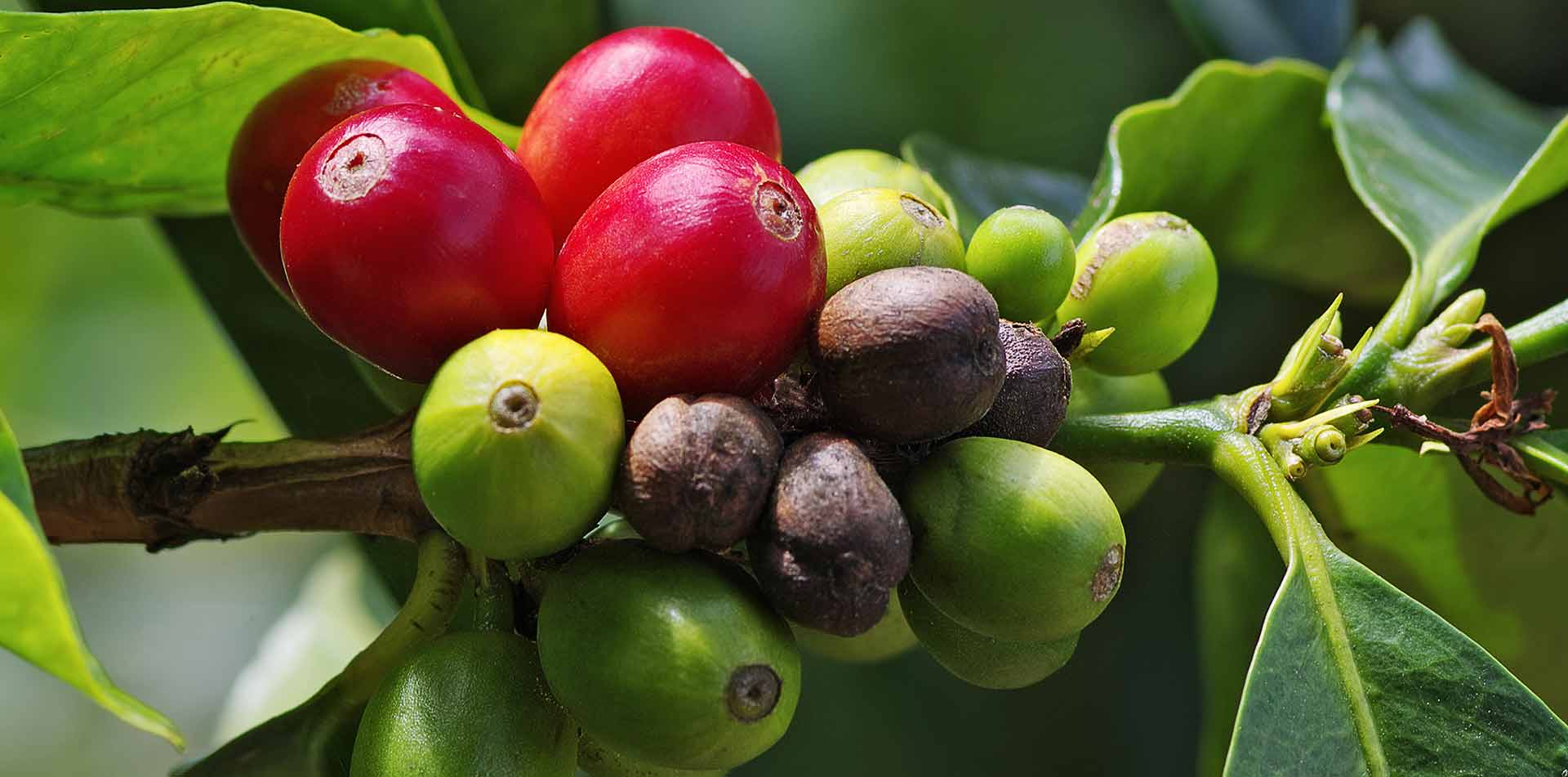Central America Panama coffee cherries on the branch - luxury vacation destinations
