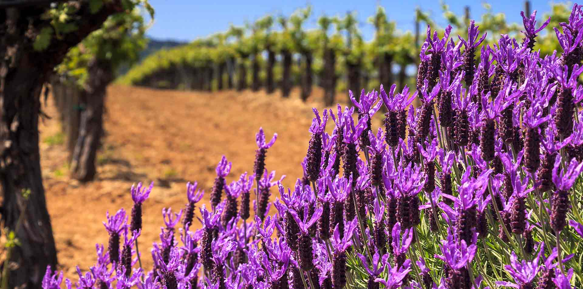 North America United States California Napa Sonoma vineyard purple lavender herb food wine - luxury vacation destinations