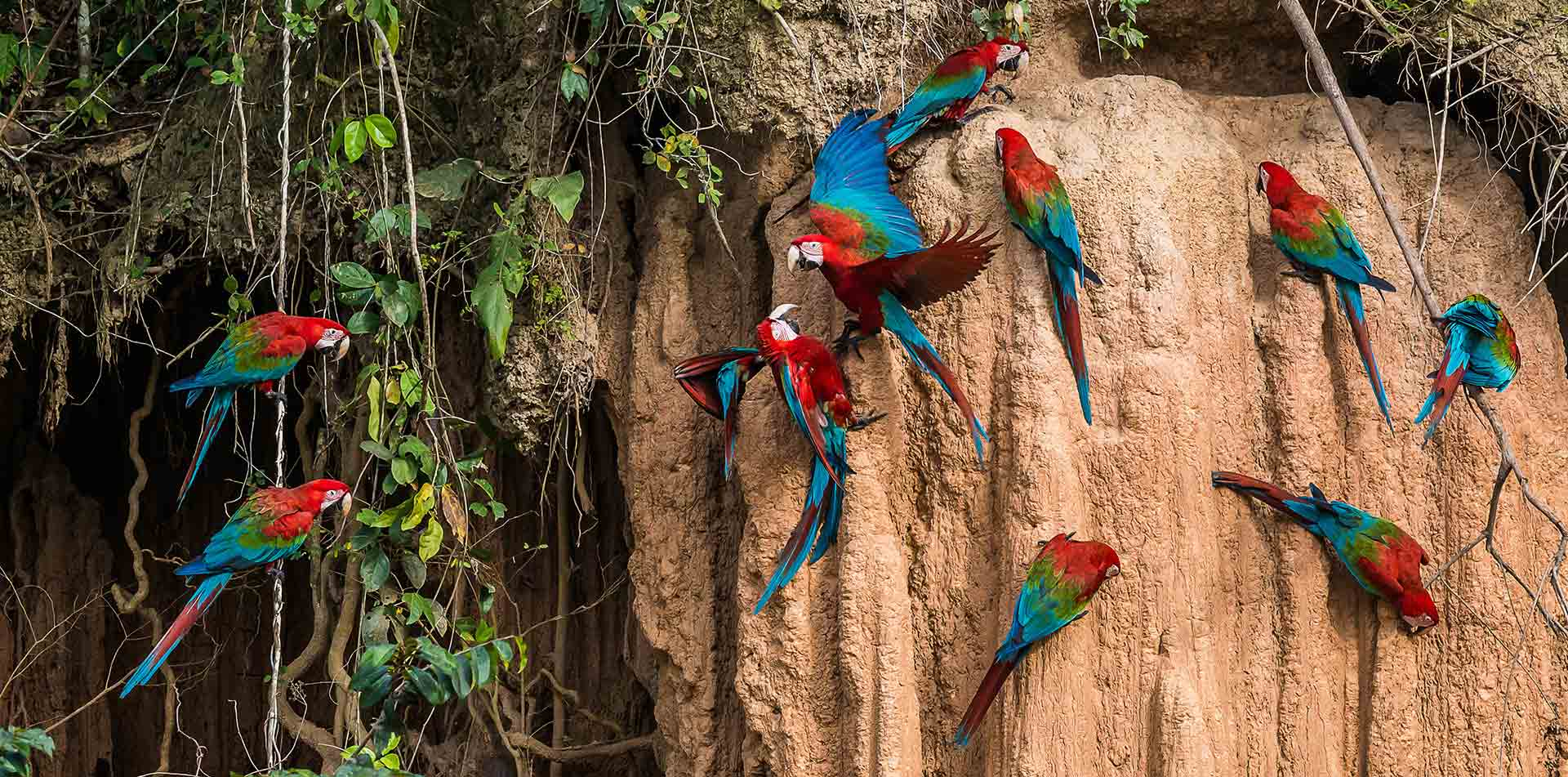 South America Peru scarlet macaws flocking in the Peruvian Amazon rainforest - luxury vacation destinations