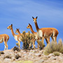 South America Peru Andes herd of wild graceful vicunas arid rocky terrain - luxury vacation destinations