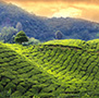 Asia India Darjeeling rolling hills of green tea plantation at sunset - luxury vacation destinations