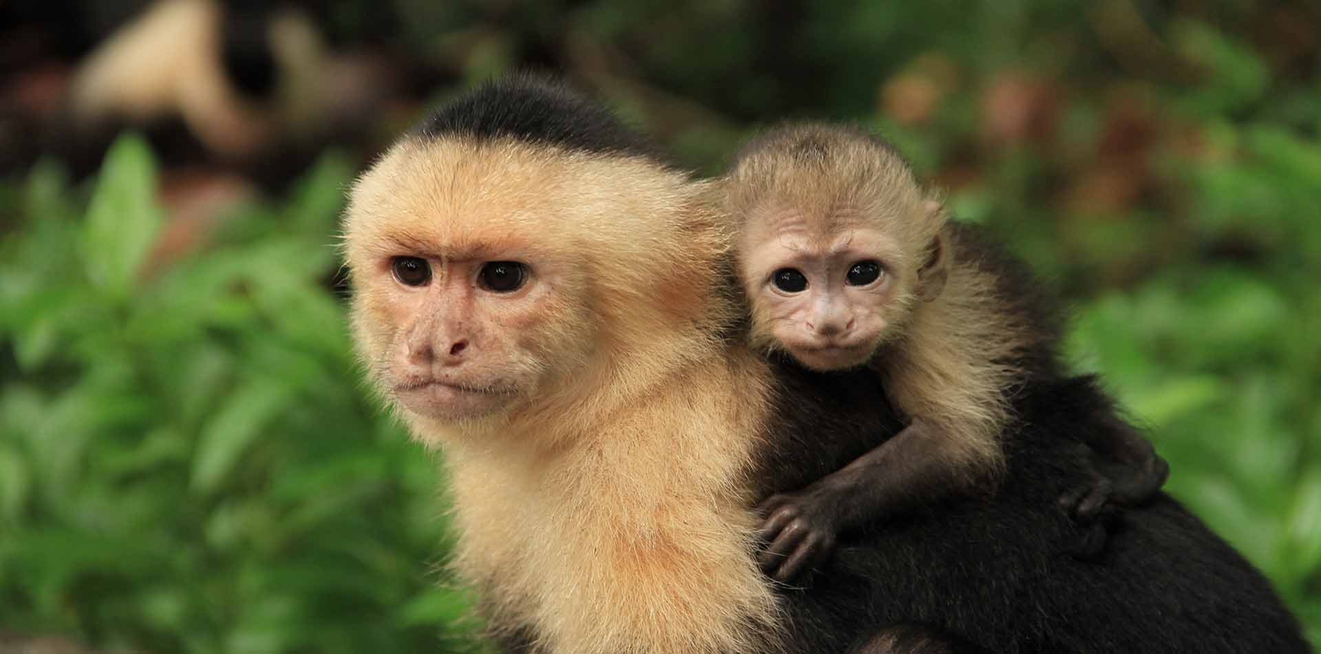 Capuchin Monkeys, Costa Rica