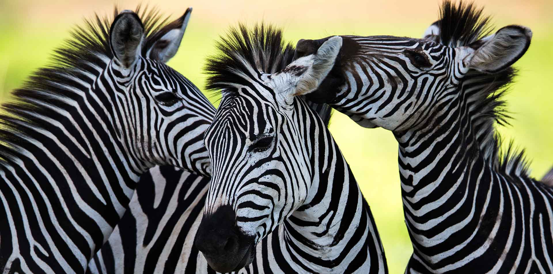 Africa beautiful affectionate wild zebras unique black and white stripes nature - luxury vacation destinations