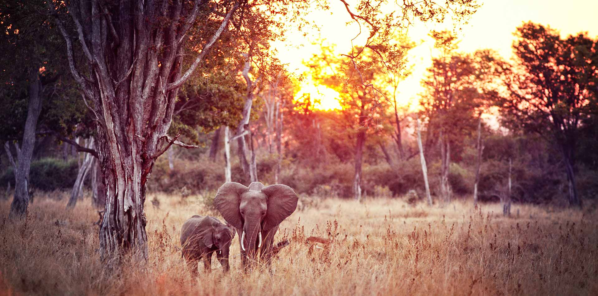 Africa Zambia Luangwa National Park safari wild baby elephants colorful sunset - luxury vacation destinations