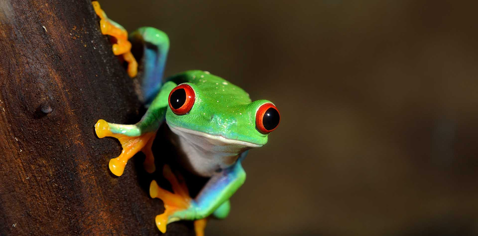Costa Rica Frog Colorful Tree Branch Wildlife Waterfall Adventure Explore Tour Travel Jungle - luxury vacation destinations