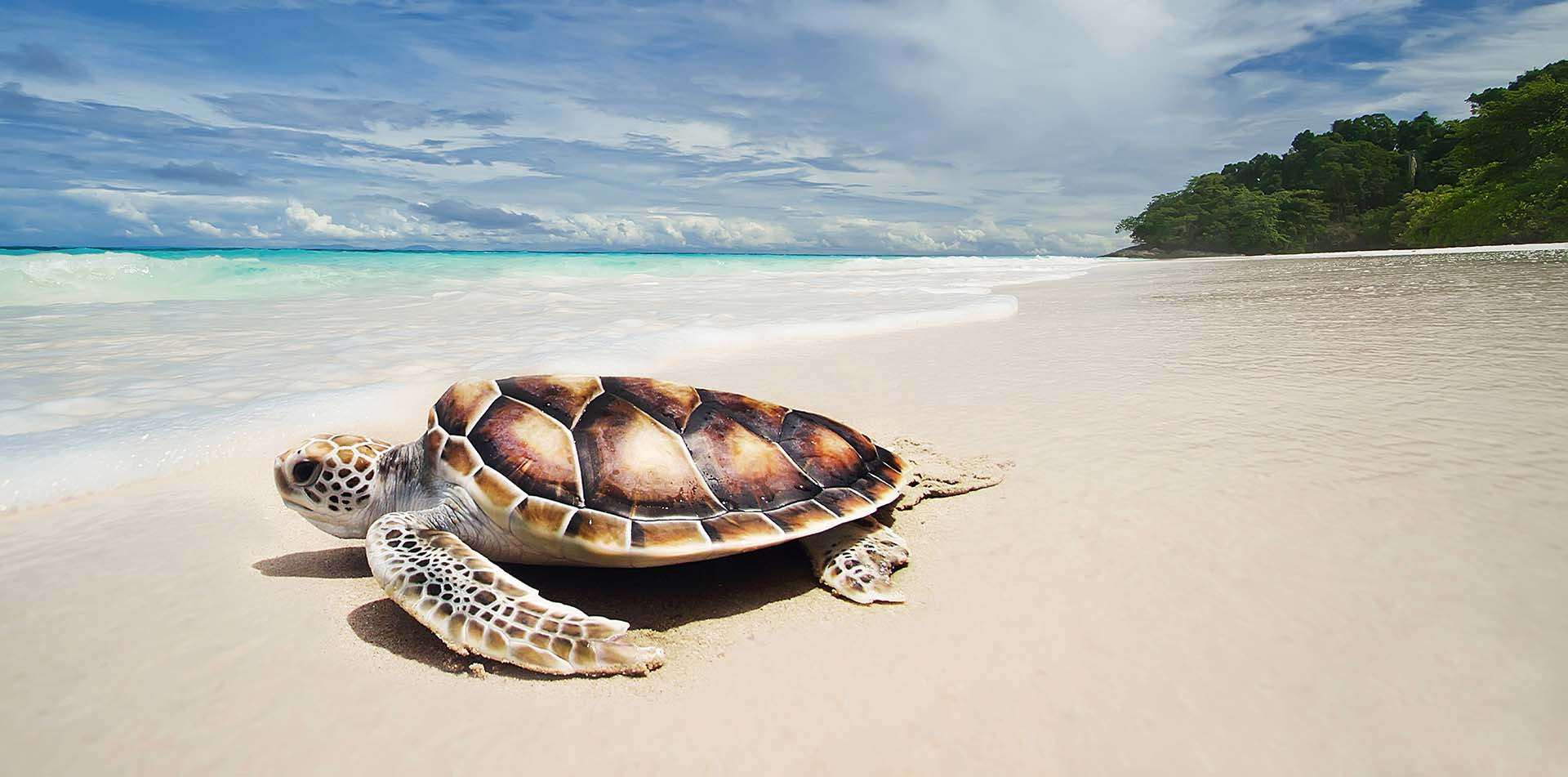 North America United States Hawaii white sand beach aqua water brown sea turtle green trees - luxury vacation destinations
