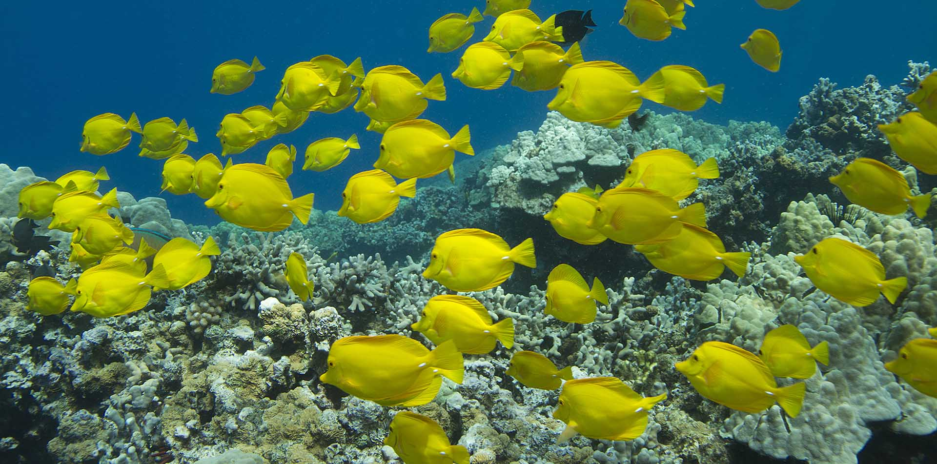 North America United States Hawaii Yellow Tang fish coral reef marine wildlife - luxury vacation destinations