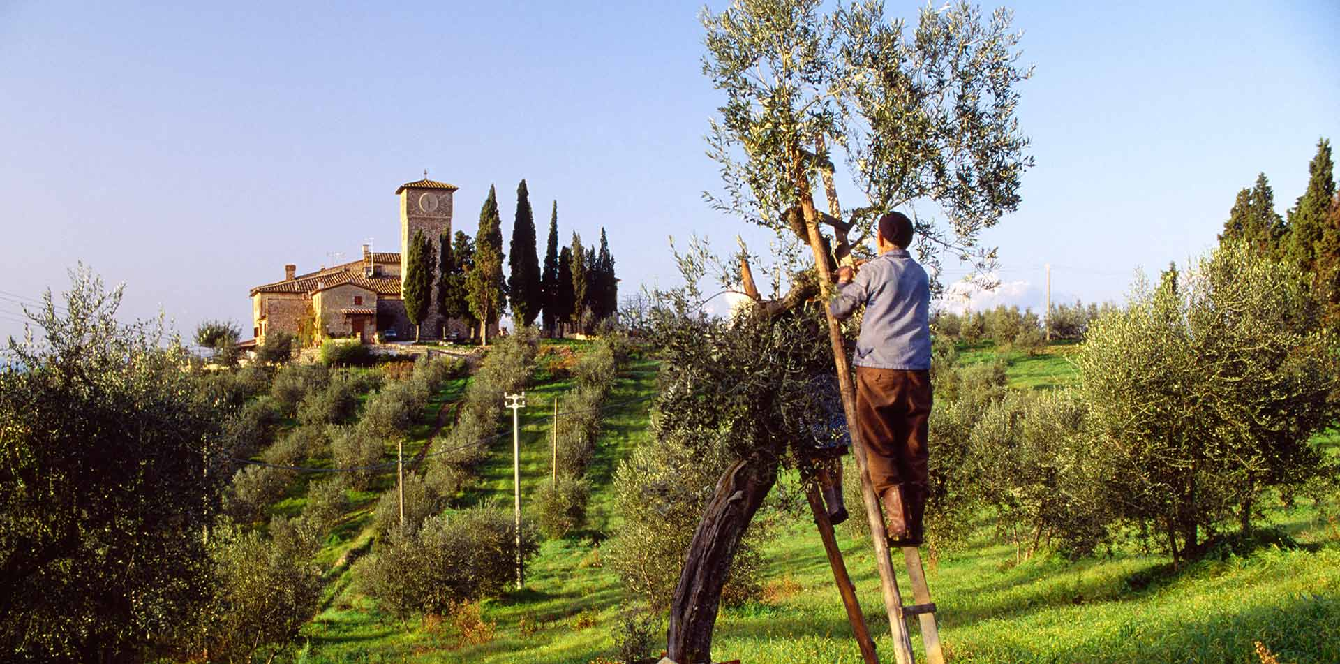 Europe Italy Tuscany man on ladder harvesting olives off tree in Tuscan grove - luxury vacation destinations