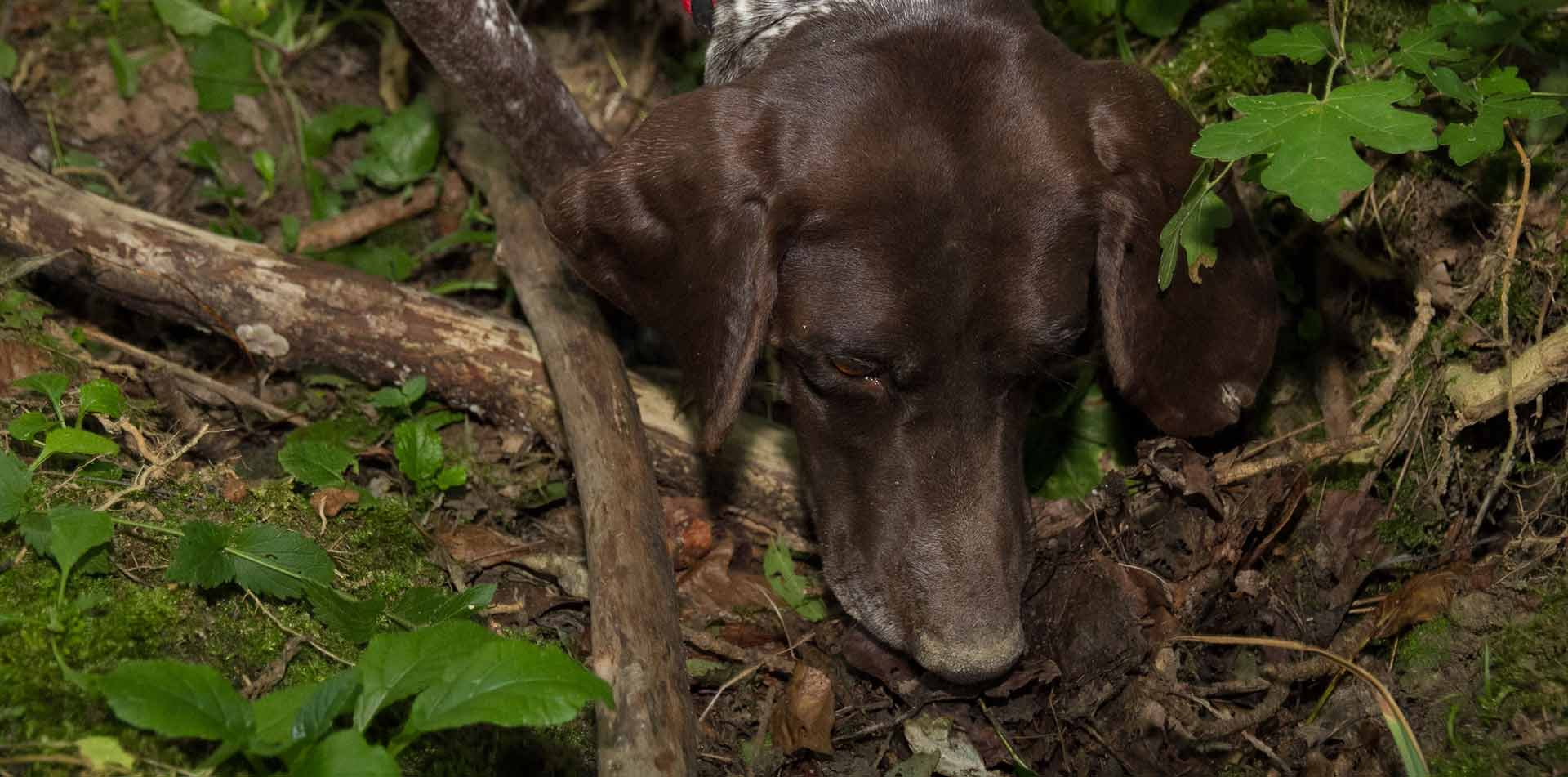 Europe Croatia Istria brown dog sniffing while truffle hunting in woods - luxury vacation destinations