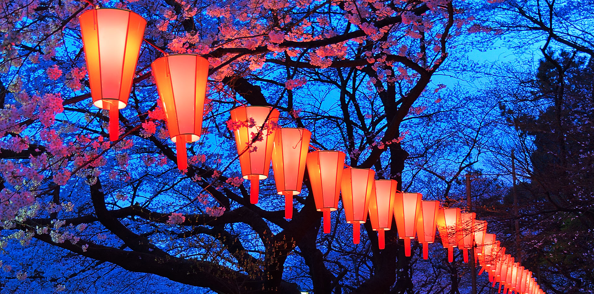 Cherry Blossoms and Lanterns in Tokyo, Japan