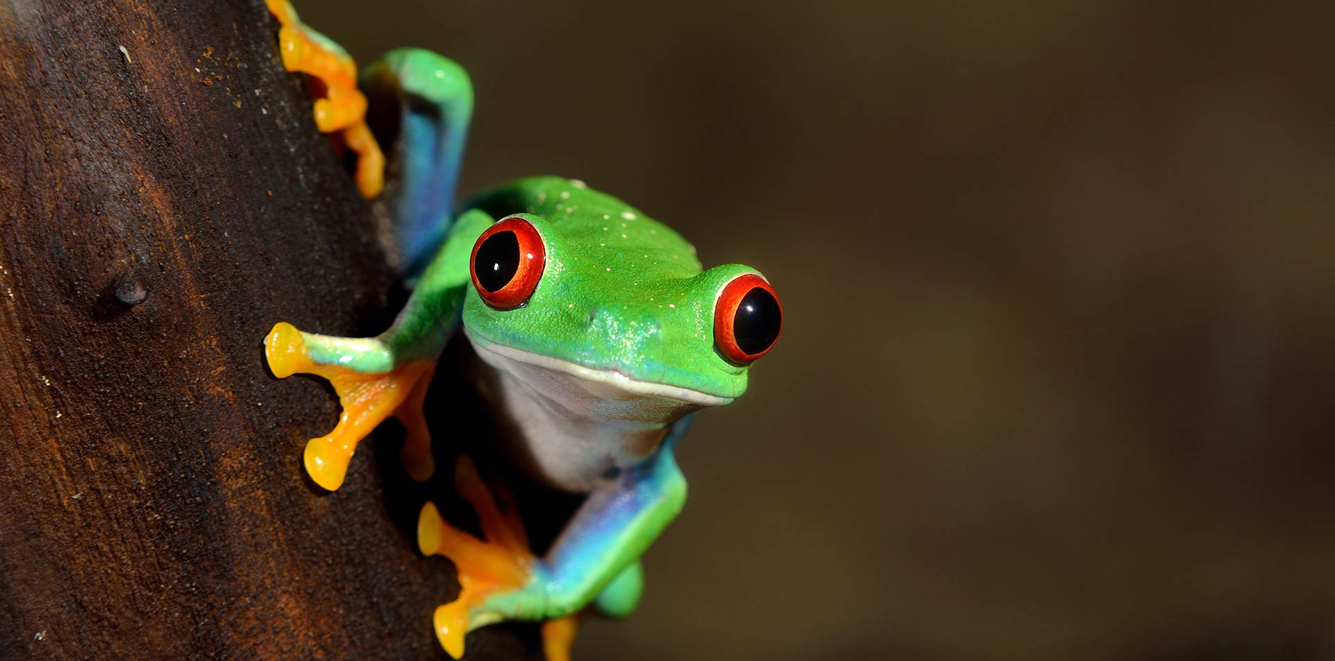 Red eyed frog, Costa Rica