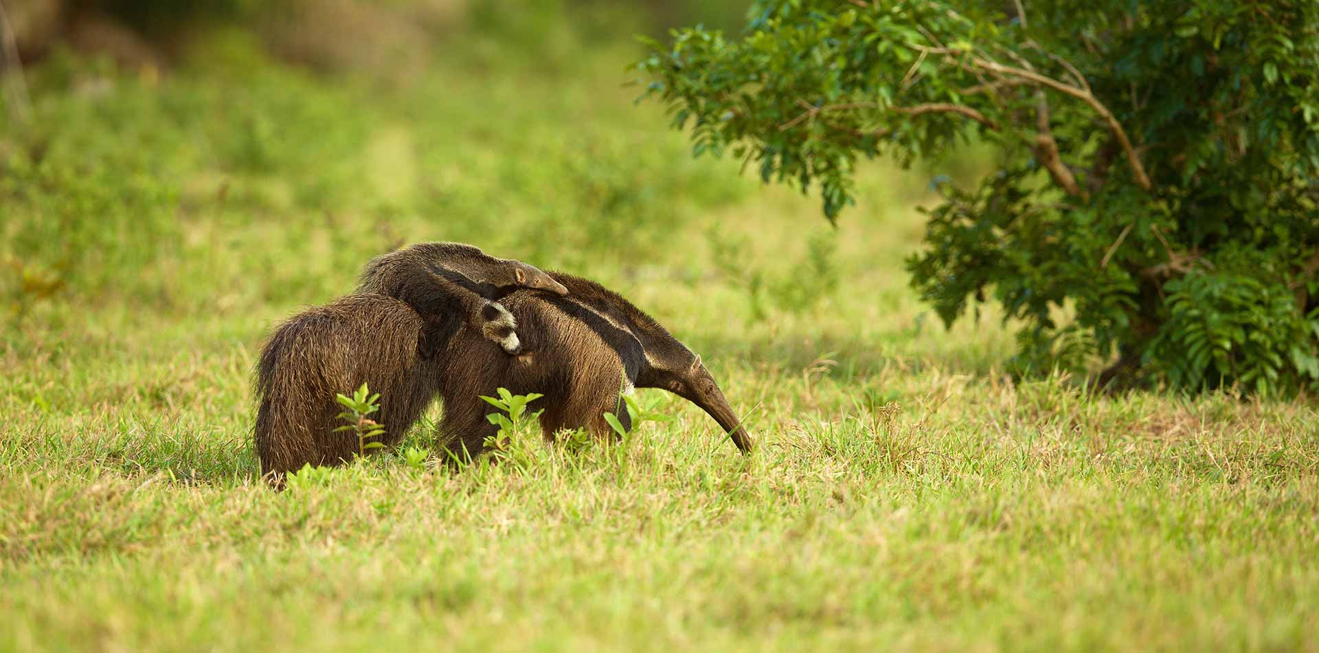 Central America Panama anteater mother and baby in the wild - luxury vacation destinations