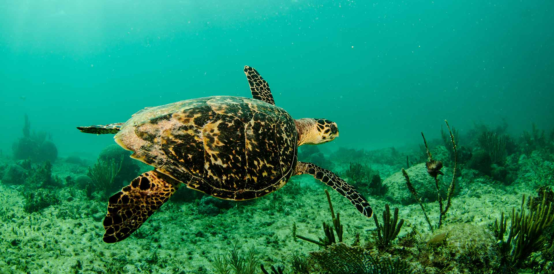 Central America Panama sea turtle swimming in blue ocean waters - luxury vacation destinations
