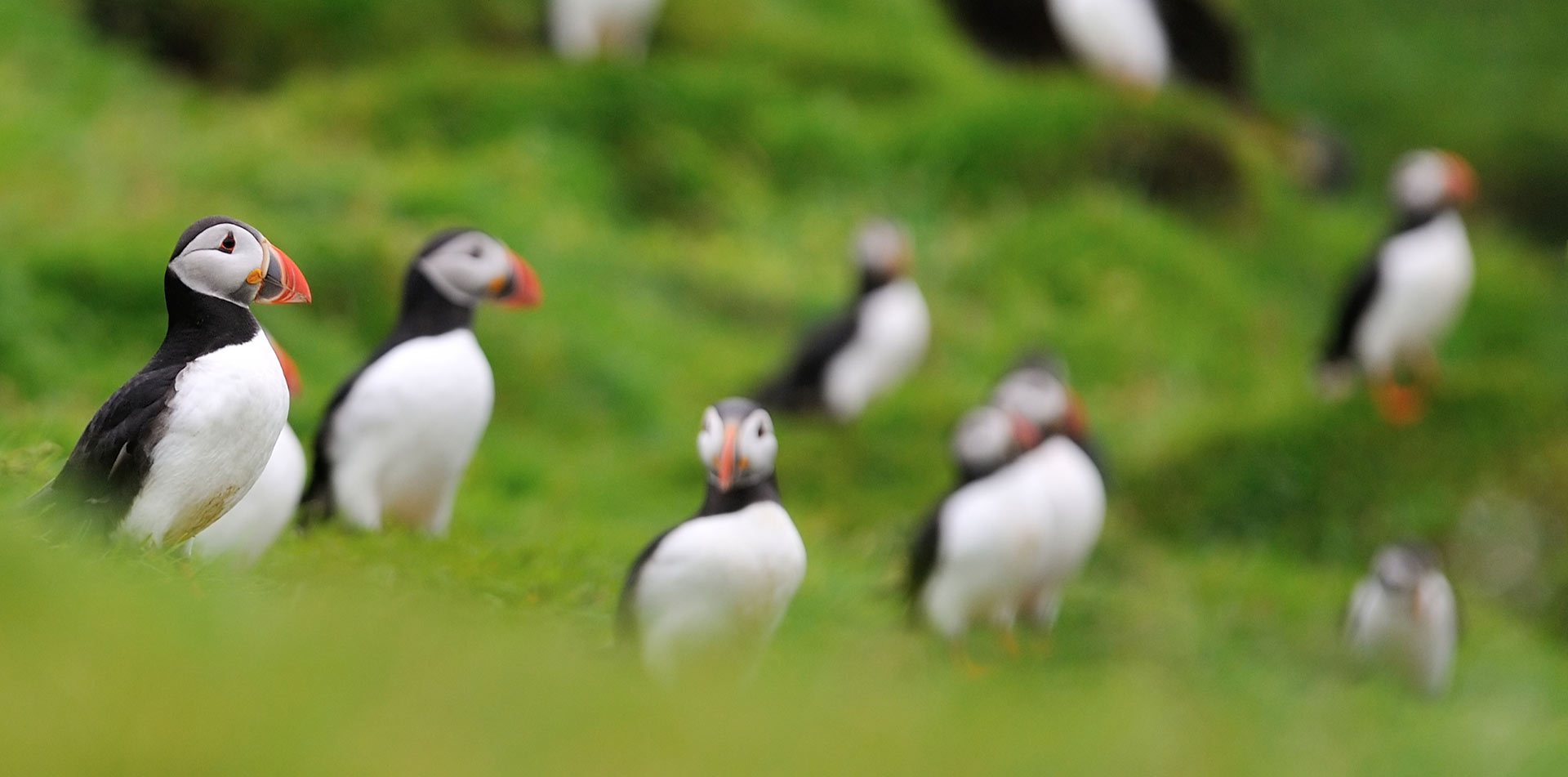 Colony of Puffins on Westman Islands in Iceland