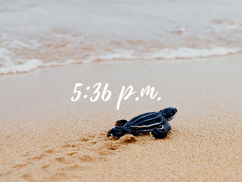 Baby Sea Turtle on a Beach, Costa Rica