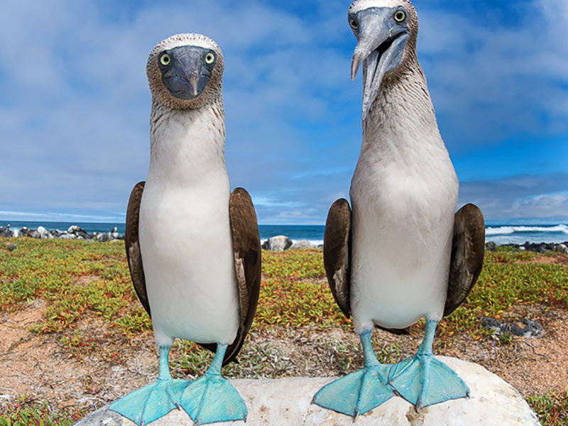 Blue Footed Boobies in the Galapagos Islands