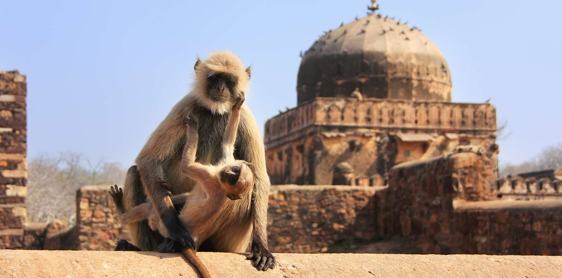 Monkey with a baby sitting at Ranthambore Fort, India