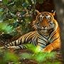 Tiger in Rathambore National Park, India