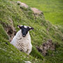 Ireland Europe Scenery Sheep Pasture Beautiful Travel - luxury vacation destinations